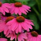 POW WOW ECHINACEA 20 SEEDS WILDBERRY OR WHITE 1ST YEAR BLOOMING PERENNIALS WOW!