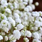 Baby's Breath seeds Choose from Many Sizes annual White Bouquet Flower #62