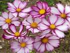 Cosmos Picotee (100 thru 1 LB seeds) Easy Grow!  Cut Flowers Wildflower USA #89