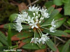 Ledum Labrador Tea Organic Essential Oil