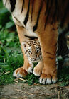 Art print POSTER Bengal Tiger Cub Between Its Mother's Legs