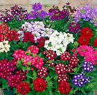 Verbena Ideal Florist Mix 100 seeds  Garden Flower CombSH I44