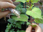 Red spider mite killer phytoseiulus phyto organic safe effective hydroponics