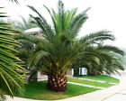 Pineapple Palm 5 seeds Phoenix canariensis  Ornamental tree / bonsai CombSH L42