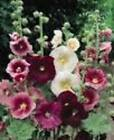 old fashioned hollyhock seeds   ~ choose your favorite: white, pink, red ~
