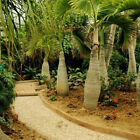 50Pcs Bottle palm tree Seeds Exotic Plants Bonsai tree Tropical Ornamental Fresh