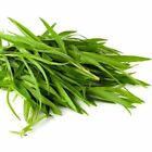 Tarragon Russian Herb Seeds up to 1/4LB FREE SHIP Mild Anise Aroma Grow Cook #91