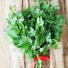 Giant Parsley Microgreens or Garden Seeds by Zellajake Many Sizes Non Gmo  57C
