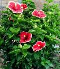 hibiscus shrub seeds choose from ~ yellow/red/purple ~