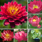 10 RED LOTUS Nymphaea Asian Water Lily Pad Flower Pond Seeds