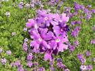 Moss Verbena Seeds 250 thru 1 LB Purple Xeriscape Ground Cover Violet Flower 50C