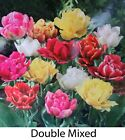 Mixed Double Tulips Plant Bulbs In Stock Now