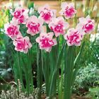100pcs Flower Daffodil Daffodil QUALITY Seeds (not daffodil bulbs) Bonsai Flower