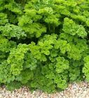 Parsley Triple Moss Curled Seeds by Zellajake FREE SHIP Microgreen, Farm 59C