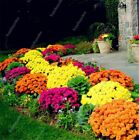 100 pcs/bag Ground Cover Chrysanthemum bonsai Easy to Grow flower plant for Home