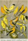 3419.Canary all types for hobby POSTER.Home Room Science School Art decoration