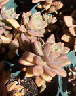 Create Your Combo Rooted Succulent Plants Flat Rate Shipping Variety