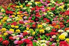 Zinnia Dahlia Flowered Mix (100 thru 1 LB seeds) Unique Easy Southern Blooms! #8