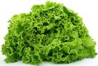 Green Ice Leaf Lettuce Seeds 600 to 2 LB Heirloom Microgreens or Garden USA 296C