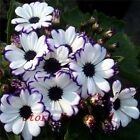 Florists Cineraria Seed (100 Seeds) 9 kind different Bonsai Flowers Seeds DIY Ho