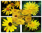 Yellow Color Shades Wild flowers Approximate 100 seeds *easy grow* garden CombSH