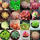 Echeveria species mix 10,50,100 seeds *succulent cactus* rare exotic CombSH C14 cheap