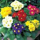 20  POLYANTHUS PLUG  PLANTS MIXED COLOURS