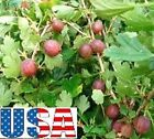 USA SELLER Red Pixwell Gooseberry 15-100 seeds  (Tree of Antiquity)