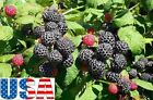 USA SELLER Black Raspberry 10-100 seeds