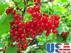 USA SELLER Red Lake Currant 25-100 seeds HEIRLOOM NON-GMO