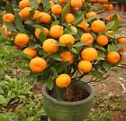 Mandarin Orange (Citrus reticulata Blanco) Tree Seeds -BONSAI- 10,20,40,100