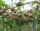 Kiwi Fruit Seeds Actinidia chinensis Golden Chinese Gooseberry Vine 50,100,250