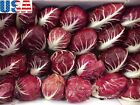 USA SELLER Rossa Di Verona Radicchio 25-200 seedsHEIRLOOM NON GMO