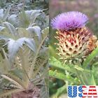 USA SELLER Cardoon-Wild Artichoke 25-200 seedsHEIRLOOM NON-GMO
