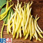 USA SELLER Yellow/Gold Dwarf French Bean 25-500 seeds HEIRLOOM NON-GMO