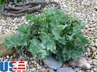 USA SELLER Sea Kale 50-400 seeds HEIRLOOM NON GMO