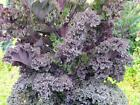 USA SELLER  Red Ursa Kale 50-400 seeds HEIRLOOM NON GMO