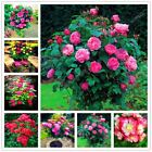 100 seeds Mix Color Rare rose tree seed Chinese color bonsai tree roses plant fo