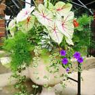 100pcs-Bag Coleus Seeds Bonsai Flower Leaf Plants Rainbow Dragon Seeds BRCE 01