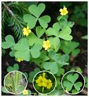 Yellow Wood-Sorrel Seeds ~ Oxalis stricta (Organic) Sourgrass Woodsorrel Clover