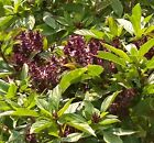 Licorice Basil Herb Seeds by Zellajake Many Sizes Thai Herb Siam Queen #232