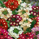 Verbena seeds Hortensis Rare Bonsai flower seed Indoor balcony plants for Home g