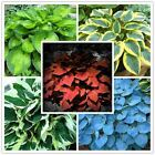 200pcs/bag Hosta plants Whirl Wind in full shade mixed color flower seeds grass