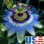 USA SELLER Blue Passion Flower 5 20 seeds HEIRLOOM NON GMO