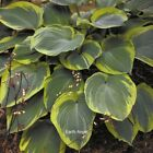 "hostas BARGAIN COMBO #H1 large healthy different 2.5"" pot = 3 Live Potted Plants $27.99 USD on eBay"