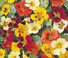 NASTURTIUM JEWELS MIX Tropaeolum Majus Bulk Flower Seeds + Free Seeds