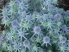 ERYNGIUM PLANTS 9CM Top Quality Locally Grown Herbaceous