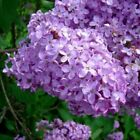 Spring Lilac Candle / Soap Fragrance ~ Tart / Oil Warmer UNCUT STRONG