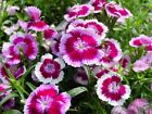 DIANTHUS SWEET WILLIAM FRESH SEEDS FREE POST
