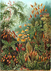 Ernst Haeckel Art Forms in Nature New Repro Print/Poster #31 Giclee Archival Ink